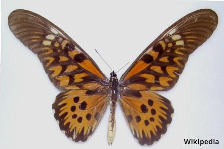 Antimachus Swallowtail