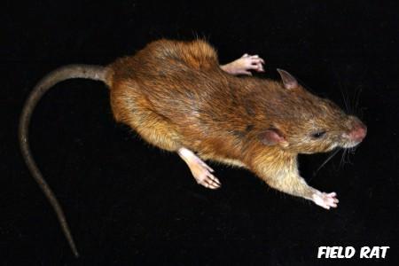 common field rat