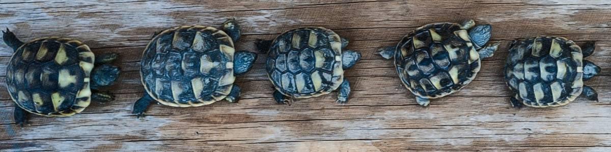 line of turtles