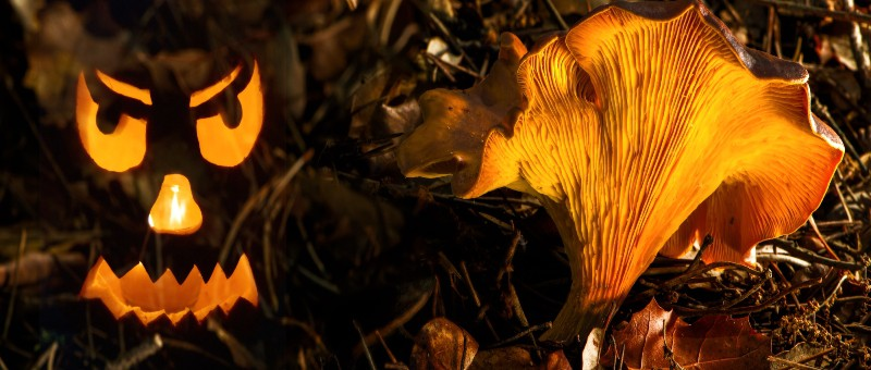 do jack o'lantern mushroom glow