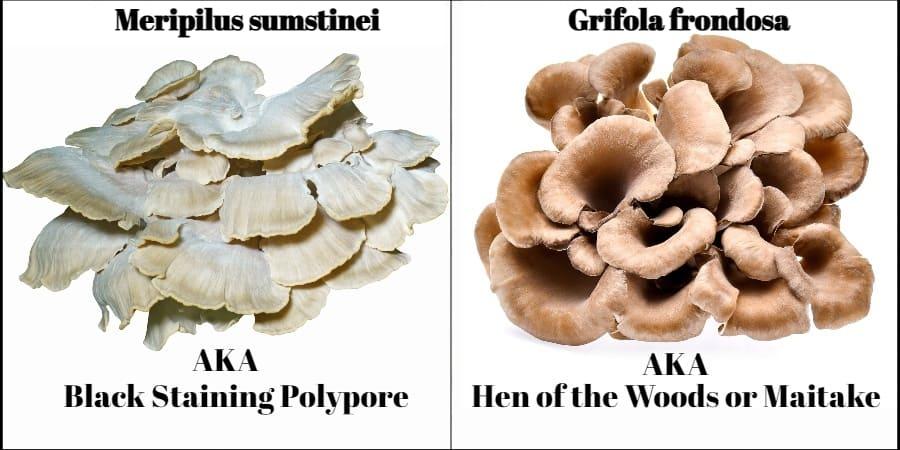 meripilus sumstinei vs grifola frondosa