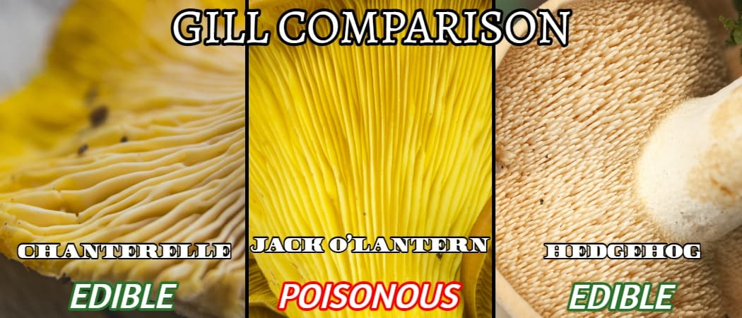 hedgehog gills vs lookalikes