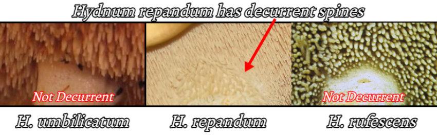 identifying h. repandum