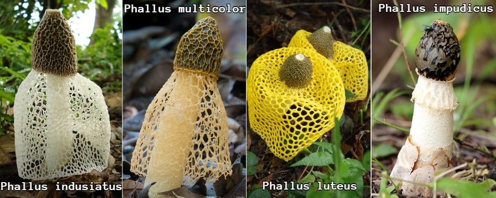 phallus stinkhorn species